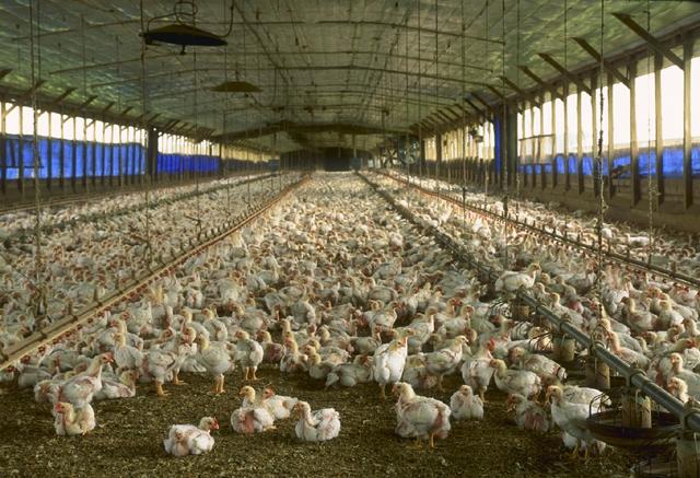 Współczynnik konwersji paszy kurczaki brojlery