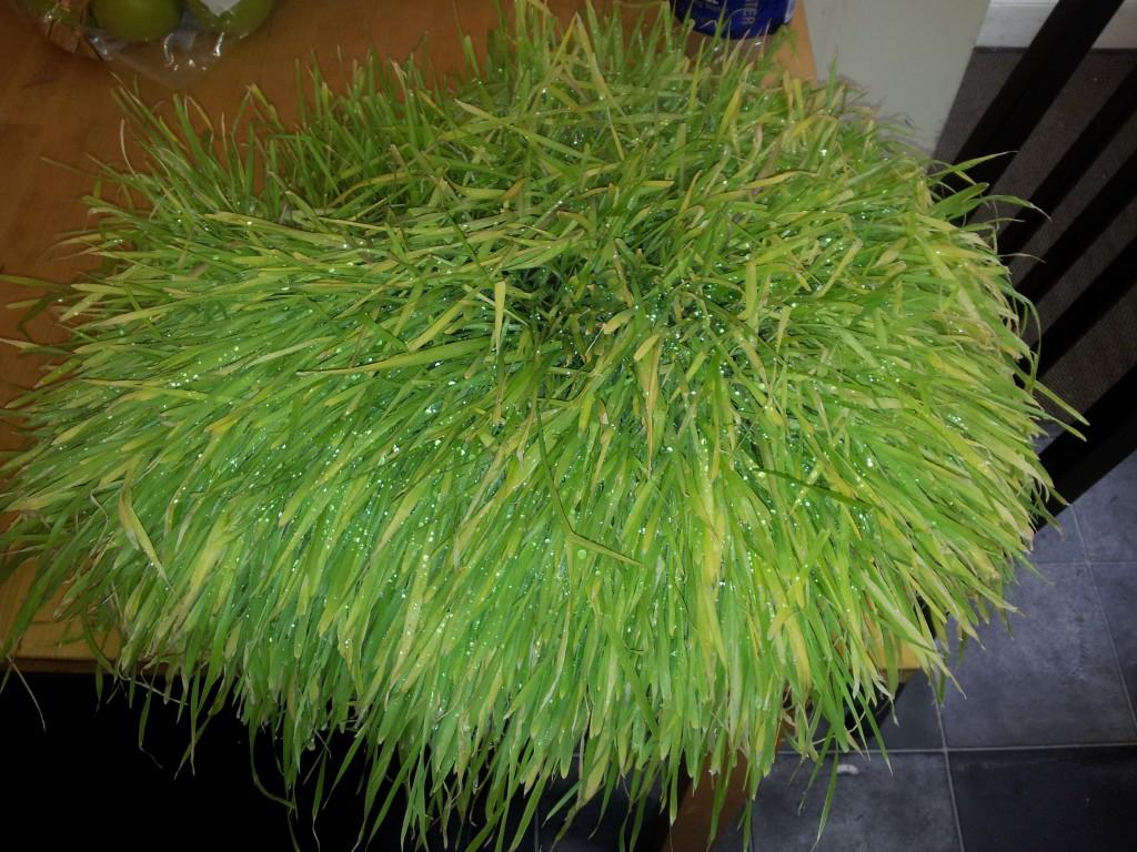 Trawa pszeniczna kiepskiej jakości jak hodować?