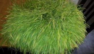 Jak wyhodować trawę pszeniczną (wheatgrass) o najwyższej wartości odżywczej?