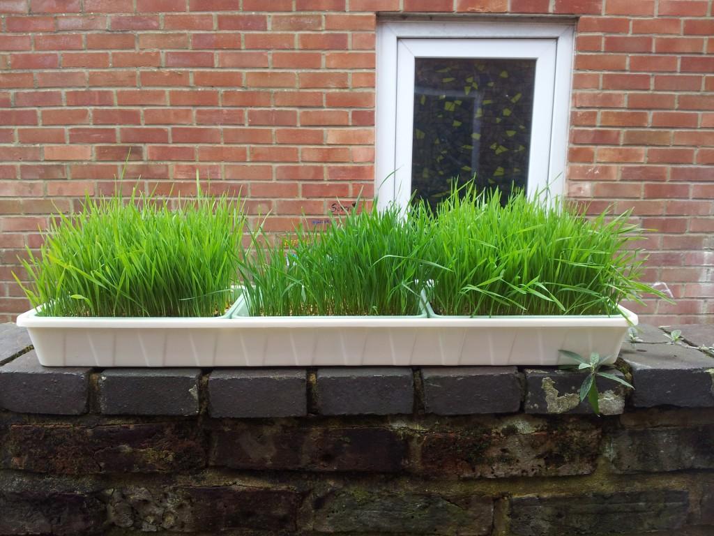 Trawa pszeniczna wheatgrass uprawa czym nawozić?