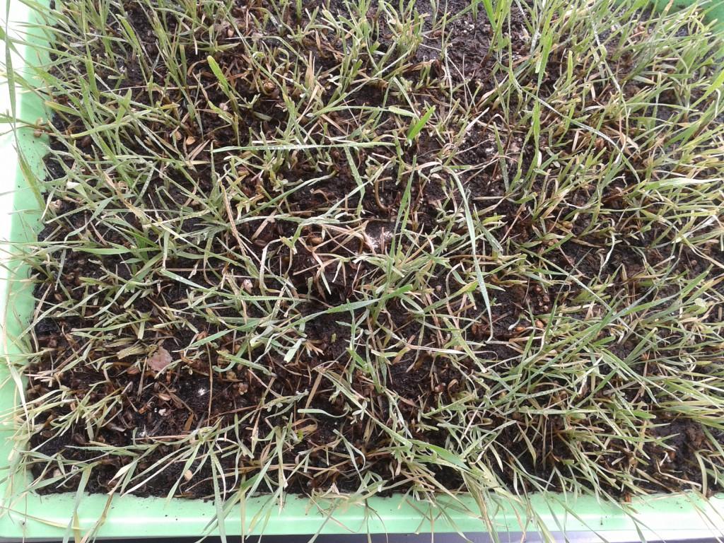 Niskiej jakości trawa pszeniczna