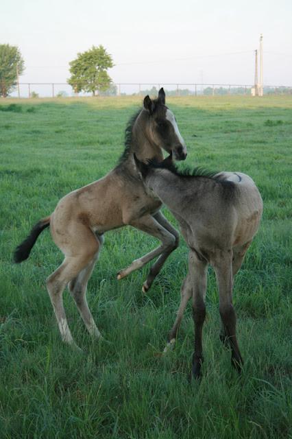 Koń champion konie achałtekińskie