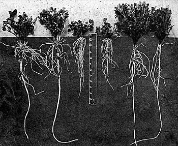 Lucerna korzenie dostatek wapnia