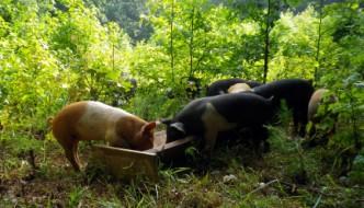 Ile świni można wypasać na hektarze lasu?