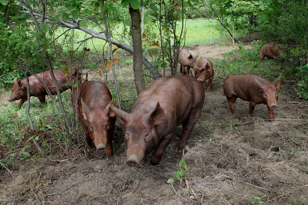 Świnie wypasane w lesie