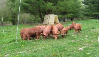 Nawiążę współpracę z ekologicznymi hodowcami świń
