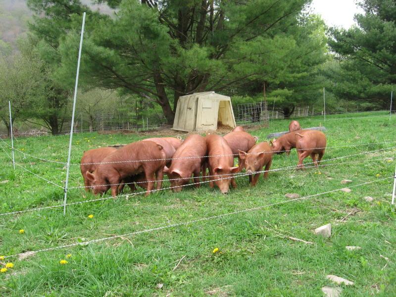 Świnie z wypasu pastwiskowego kupię