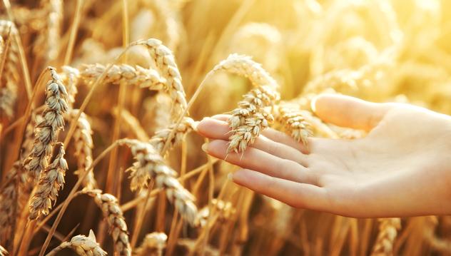 Pszenica optymalne naożenie potas chlorek ile nawozić