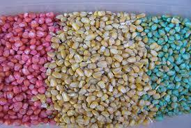 Zaprawa nasienna do kukurydzy nawożenie najlepsza zaprawa